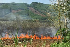 Hàng chục hộ dân lao đao vì mía cháy , rớt giá