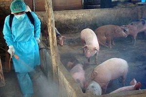 Đã có nhiều biện pháp hỗ trợ khẩn cấp phòng chống dịch tả lợn châu Phi