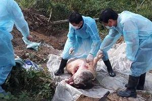 Đàn lợn rừng ở Huế nhiễm dịch tả lợn Châu Phi