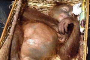 Bí mật mang đười ươi say ngủ: Du khách Nga bất ngờ bị tóm tại Bali