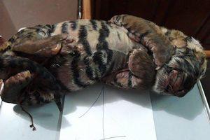 Nghệ An: Bắt vụ vận chuyển xác hai cá thể hổ