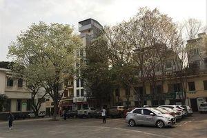 Kho báu lộ thiên trên phố Hà Nội: Những cây sưa ngàn tỷ