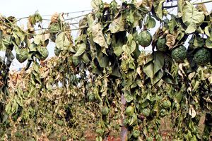 Tỉnh Gia Lai chỉ đạo công an điều tra vụ phá hoại 2.000 gốc chanh dây