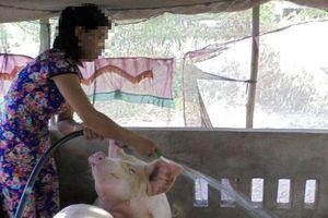 Cà Mau xuất hiện lợn bị bệnh lở mồm long móng