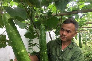 Hòa Bình: Dùng nhà màng trồng bầu canh đẹp như tranh, từ lỗ thành lời