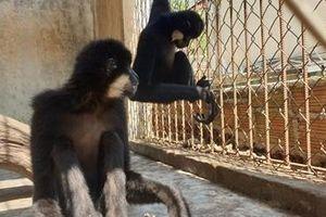 Bàn giao 2 cá thể vượn đen má hung cho Vườn Quốc gia Cát Tiên