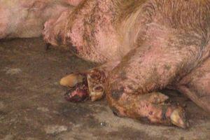 Phát hiện heo lở mồm long móng trong lò mổ ở Cà Mau