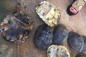Thả 86 cá thể rùa quý, hiếm vào Vườn Quốc gia