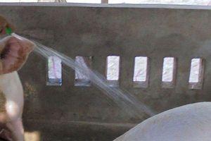 Lại xuất hiện heo bị bệnh lở mồm long móng tại Cà Mau