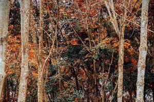 Sốt sình sịch rừng cao su lá vàng đẹp mê hồn ở Bình Dương đến Hàn Quốc cũng phải ghen tị