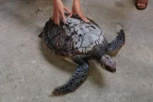 Huế: Thả cá thể rùa quý hiếm nặng 18kg về môi trường tự nhiên
