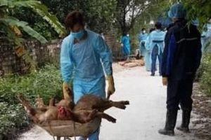 Hải Phòng: Dịch tả lợn châu Phi bùng phát tại 8 quận, huyện