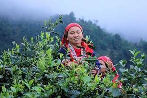 Chè Shan Tuyết cổ thụ - món quà của núi