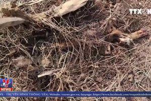 Bình Phước: Xác lợn chết vương vãi gần Quốc lộ 14