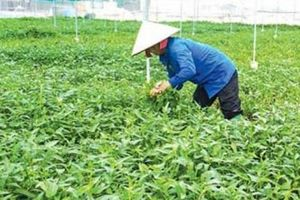 Gia Bình (Bắc Ninh): Kinh tế tập thể mang nguồn lợi đến nông dân