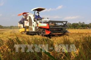 Giá lúa tăng nhẹ nhờ xuất khẩu gạo có tín hiệu tốt