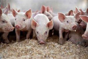 Giá heo hơi hôm nay 29/3: Tăng nhẹ ở miền Bắc, dịch tả lợn châu Phi lan rộng ở miền Trung