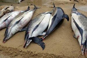 1.100 con cá heo bị cắt xẻo dạt vào bờ biển Pháp