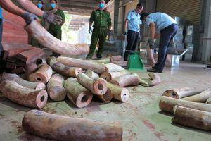Làm rõ đường dây buôn lậu ngà voi vào Việt Nam
