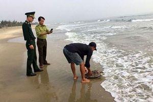 Thả cá thể rùa biển nằm trong Sách đỏ về tự nhiên