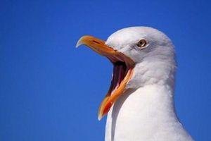 Ngỡ ngàng với giải vô địch bắt chước tiếng chim hải âu ở châu Âu