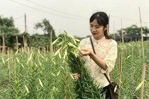 Hà Nội: Hoa loa kèn vào vụ thu hoạch, dân phấn khởi vì được mùa