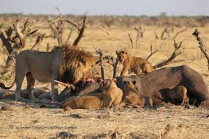 Sư tử săn voi ăn thịt, 'đấu trí' chó hoang cơ hội