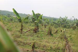 Tan hoang bãi chuối trăm ha trong siêu dự án nghìn tỷ nuôi bò Bình Hà
