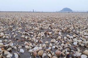 Thanh Hóa: Dân 'khóc ròng' vì ngao chết trắng bãi