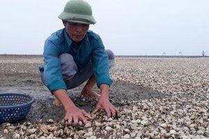 Thanh Hóa: Người dân 'khóc ròng' vì ngao chết trắng bãi