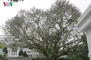 Cây đại trăm năm tuổi trên đảo Hòn Dấu