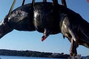 Điều đau lòng bên trong dạ dày cá nhà táng mang thai chết dạt bờ biển Italia