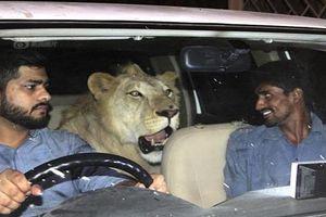 Độc đáo cặp anh em chăm, nuôi sư tử như 'vua con'