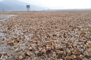 Hàng chục tỷ đồng đổ biển vì ngao nuôi chết hàng loạt ở Thanh Hóa