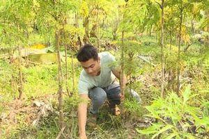 CLIP: Kiếm cả chục triệu đồng từ trồng cây đinh lăng lấy củ