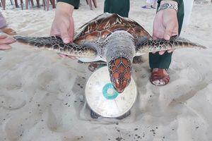 Huế: Liên tiếp thả rùa trong sách đỏ về với biển