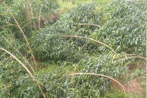 Mưa lớn kèm lốc xoáy gây thiệt hại 500ha cây nông nghiệp của nông dân Quảng Nam