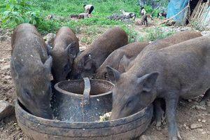 Chính phủ yêu cầu bãi bỏ quy định 'lợn không được ăn cây chuối'