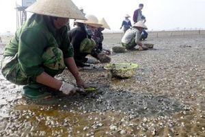 Thanh Hóa: Ngao chết trắng bãi, người nuôi ngao ôm quả đắng