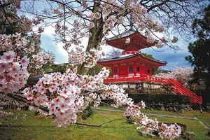 Thăm Kyoto mùa hoa anh đào nở