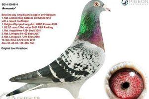 Dân chơi kỷ lục bỏ 33 tỷ đồng mua một chú chim bồ câu đua