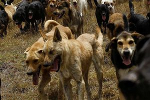 Bé trai bị chó cắn tử vong: Chủ nuôi chó phải chịu trách nhiệm hình sự?