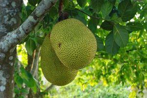Đồng Tháp chuyển đổi diện tích nông nghiệp sang trồng mít Thái