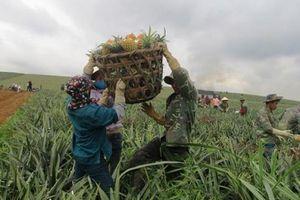 Thanh Hóa: Giá dứa xuống thấp kỷ lục, người trồng lâm cảnh nợ nần
