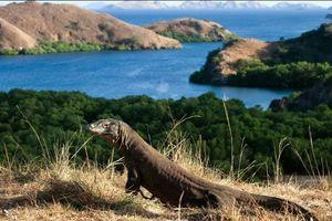Indonesia đóng cửa đảo rồng Komodo để ngăn chặn buôn lậu