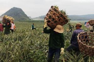 Người trồng dứa xứ Thanh lao đao trước cảnh 'được mùa, rớt giá'