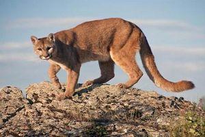 Bà mẹ cưỡi lưng sư tử núi, ép 'quái thú' thả con