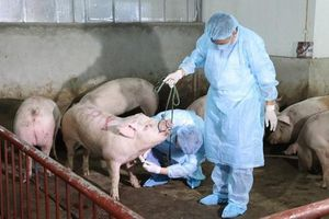 Phát hiện dịch tả lợn châu Phi tại Sóc Sơn, Thạch Thất (Hà Nội)