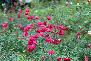 Bên trong vườn hồng lớn nhất Việt Nam, vạn người mê