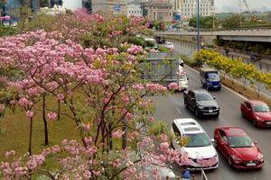 Nghĩ từ mùa hoa kèn hồng